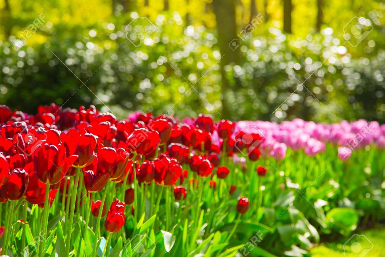 Parc De Tulipes Keukenhof - Jardin De Fleurs, Hollande. Plate-bande ...