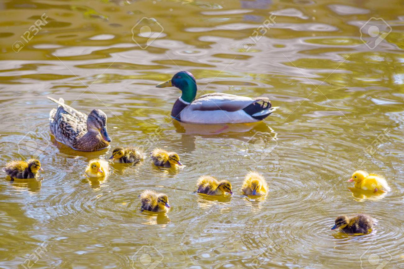 mother and father duck with ducklings swimming on lake surface