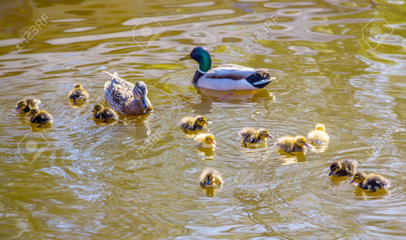 ducklings family of wild ducks swims in a pond mother and father