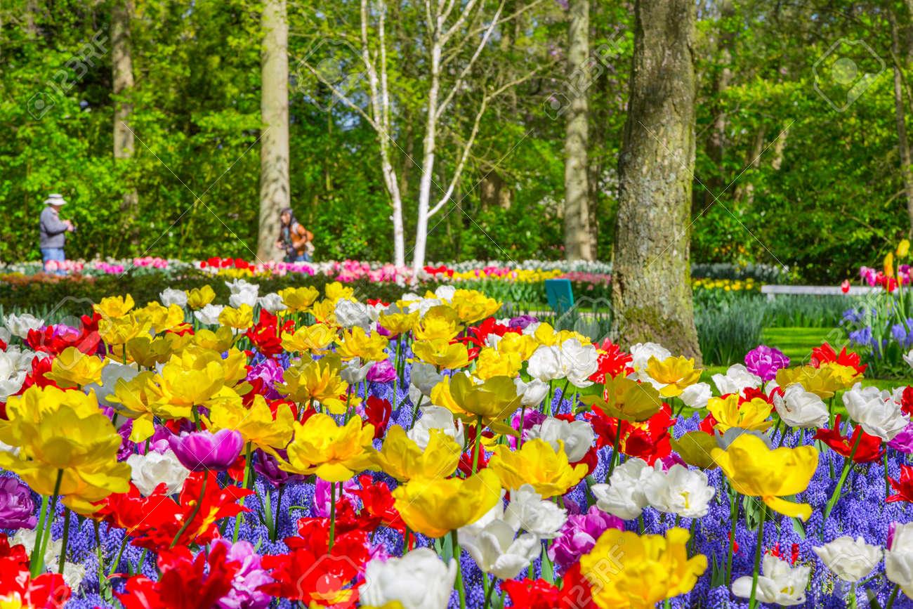 Parfait Plate Bande De Tulipes Colorées Au Printemps. Tulipes Colorées Dans Le  Jardin De Keukenhof, Pays Bas Pays Bas. Tulipes Fleuries Fraîches Dans Le  Jardin De ...
