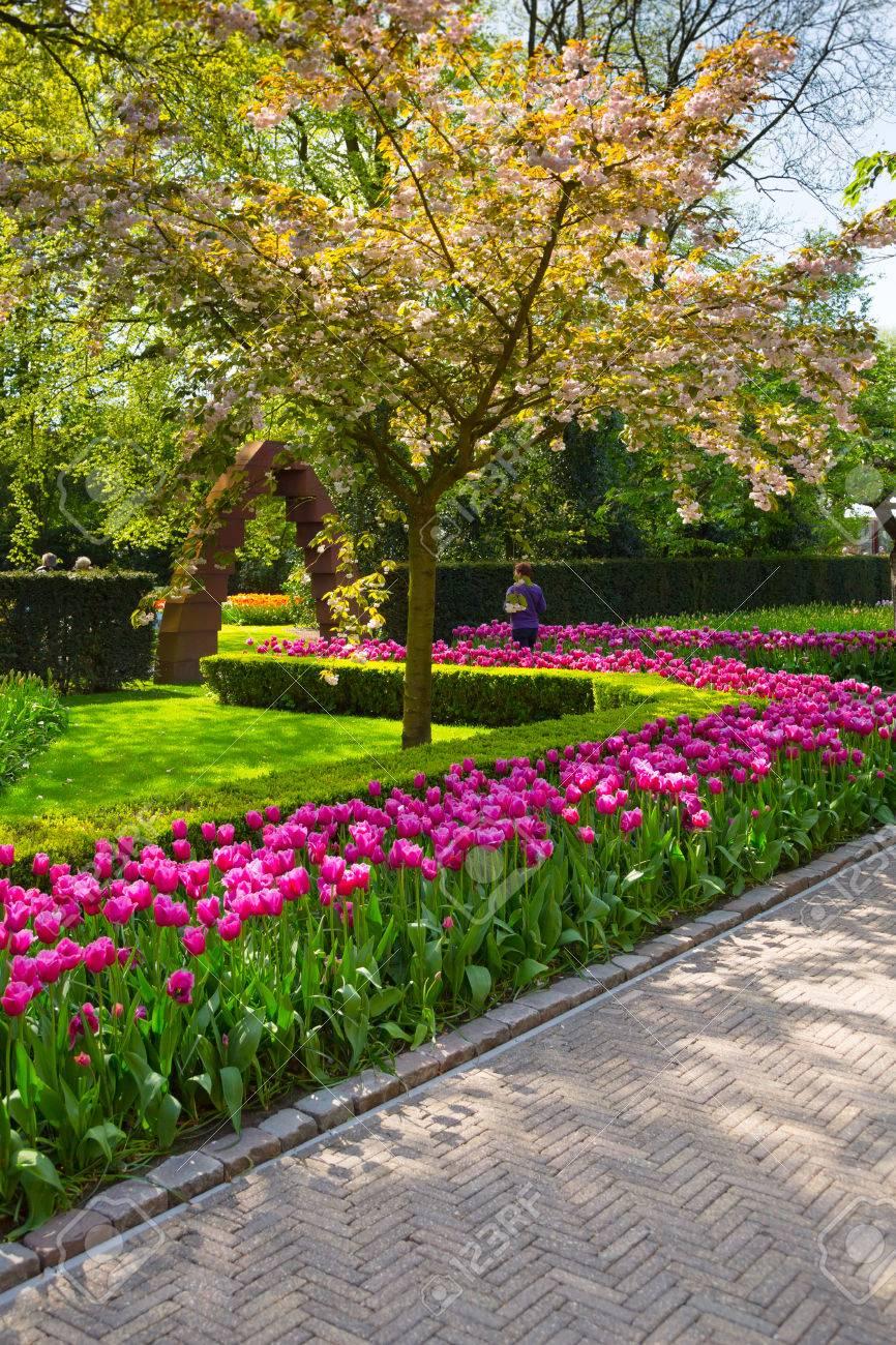 Plate Bande De Tulipes Colorées Au Printemps. Tulipes Colorées Dans Le Parc  De Keukenhof, Pays Bas. Tulipes Fleuries Fraîches Dans Le Jardin De  Printemps.