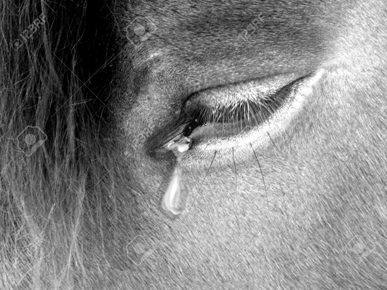 Photography Triste Del Ojo Del Caballo Con Forma De Lágrima Fotos