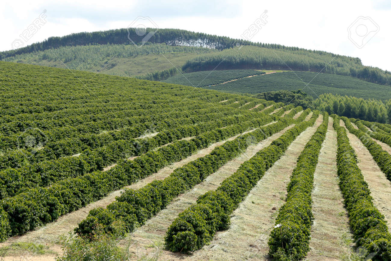 view farm with coffee plantation stock photo picture and royalty