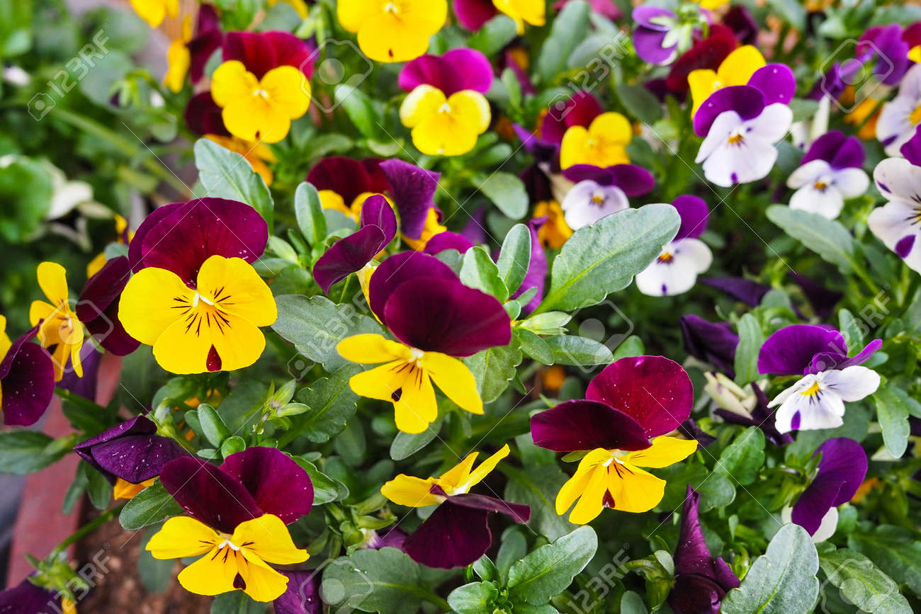 Yellow Violet And White Purple Pansy Flower Bed In Garden Seoul