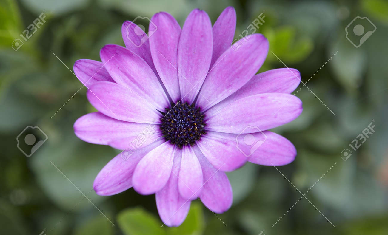 Close-up of a purpel flower with green leafs Stock Photo - 5366973