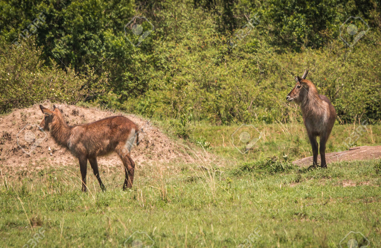 De antilopes africanos fotos Antílopes Fotos