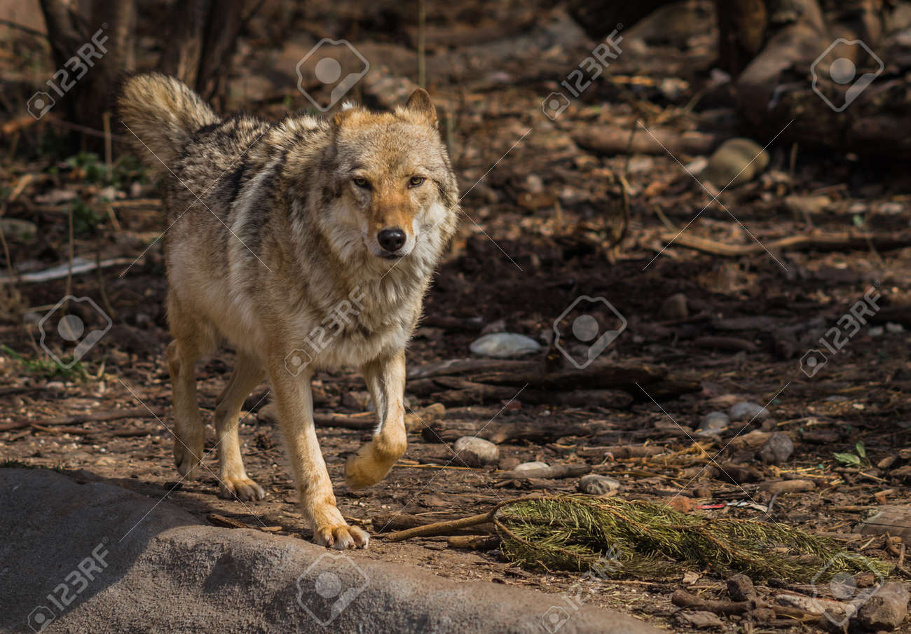 Image of wolf in natural habitat, Curonian Spit, Kaliningrad