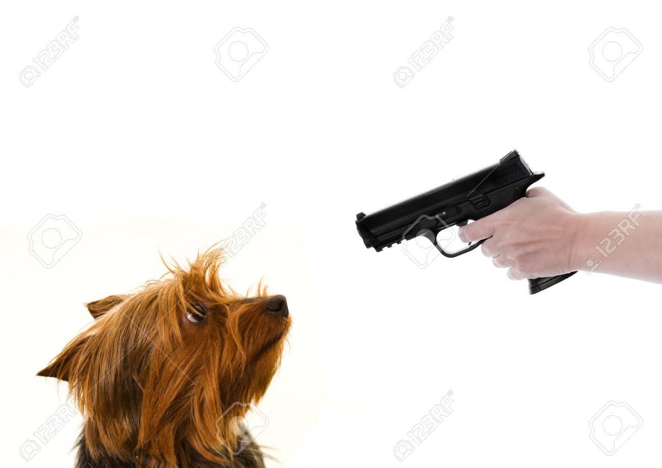 17368242-yorkie-dog-looking-at-a-gun-poi