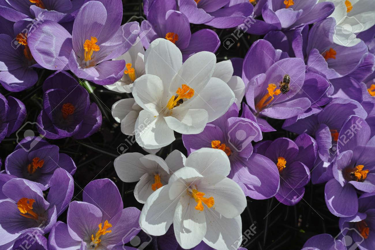 Crocus Flowers Stock Photo - 19237591