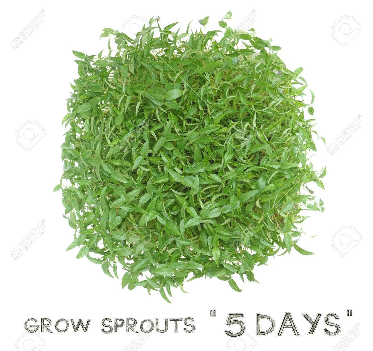 Crecer Los Brotes De 5 Días A Partir De Semillas De Habas Verdes