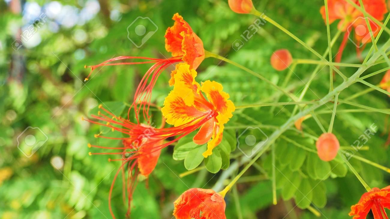 Background Blur Caesalpinia Pulcherrima Red And Yellow Flower