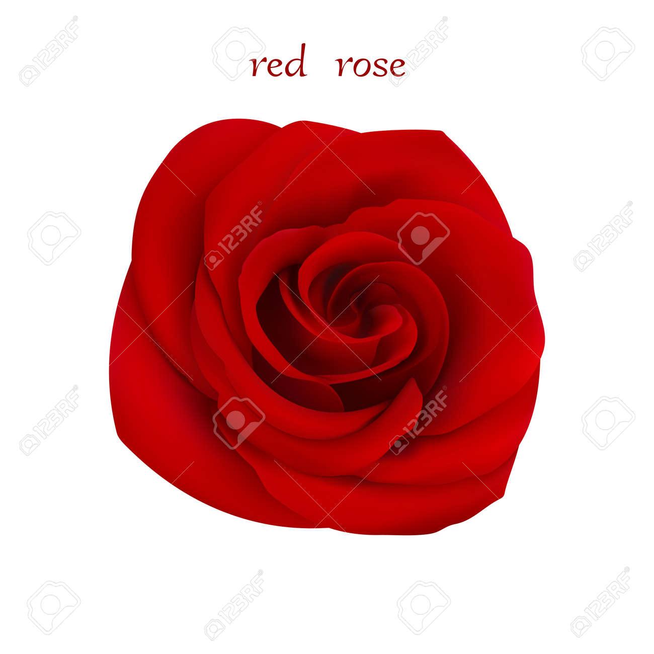 Vettoriale Rosa Rossa Fiore Isolato Su Sfondo Bianco è Stato