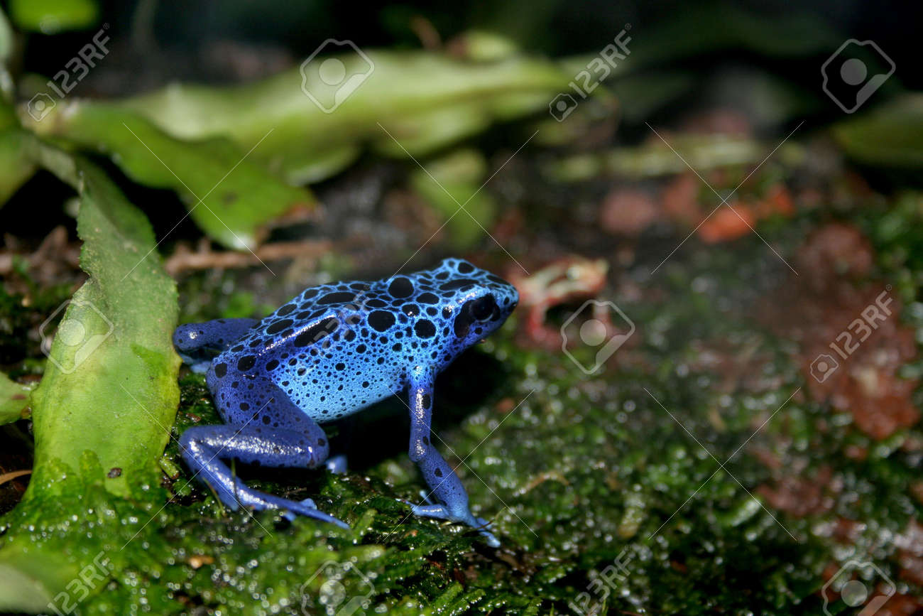 A Blue Poison Dart Frogs In A Terrarium Stock Photo Picture And
