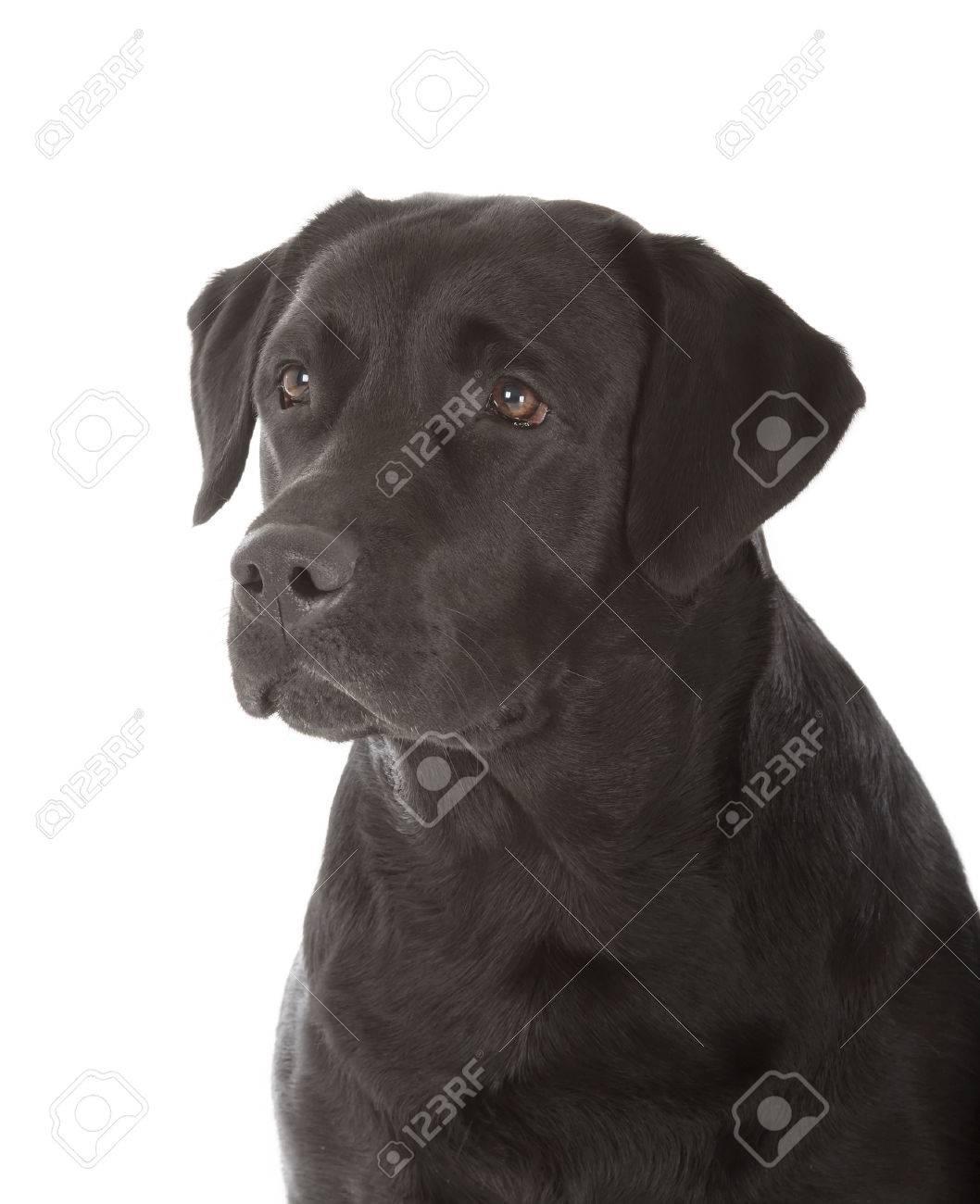 black labrador retriever dog on white background Stock Photo - 22927804