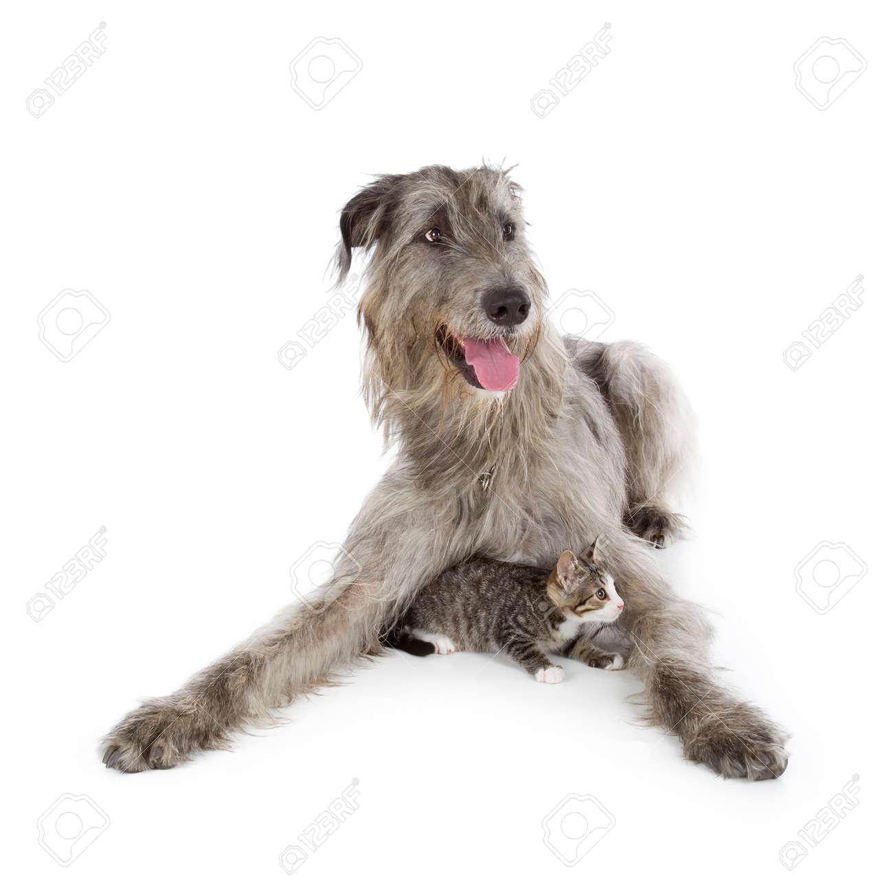 Irish Wolfhound isolated on a white background Stock Photo - 23307716