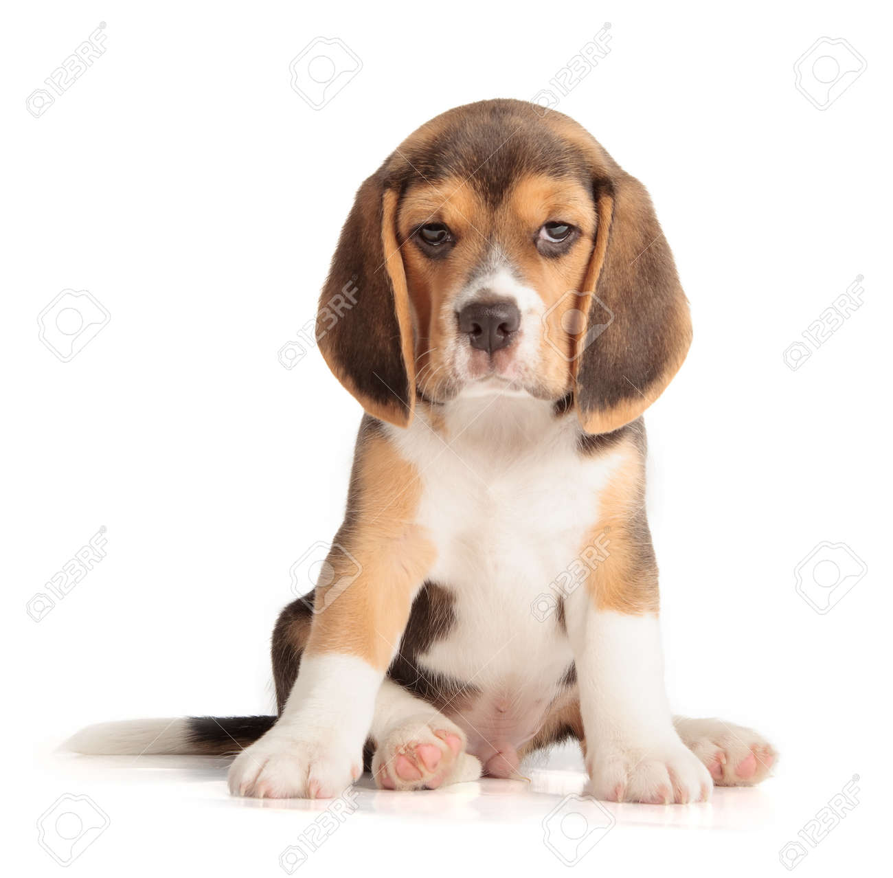 Cute beagle puppy 5 week old cute beagle puppy 5 week old 30853352 voltagebd Image collections