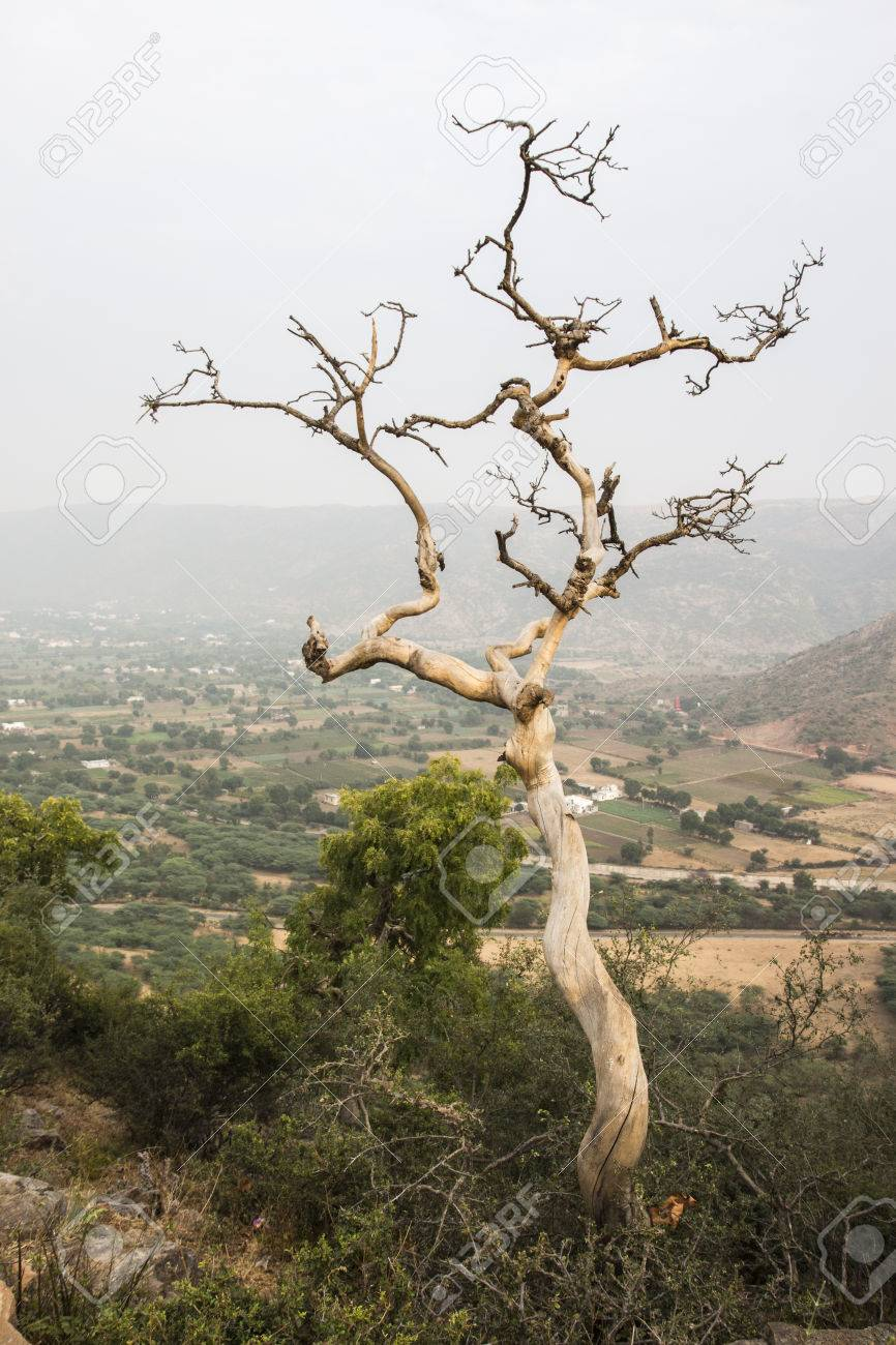 death bare tree on hill in winter season, pushkar, India