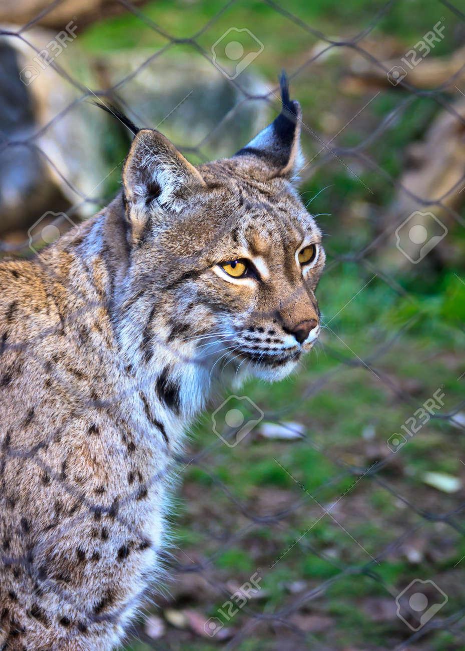 Caged Cheetah Stock Photo - 16475328
