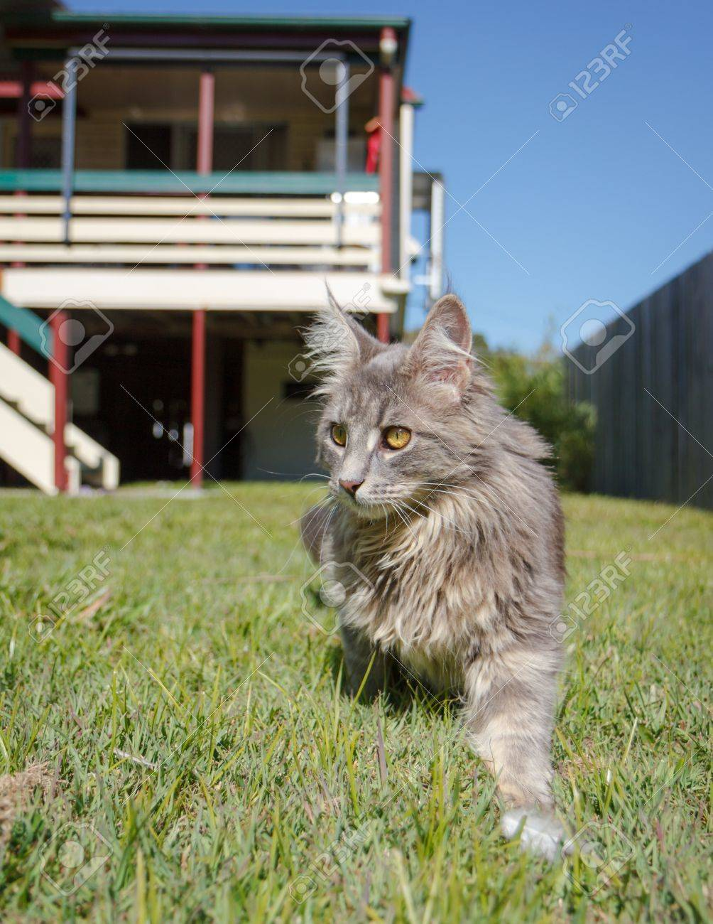 a grey tabby maine coon cat walking through the green grass of