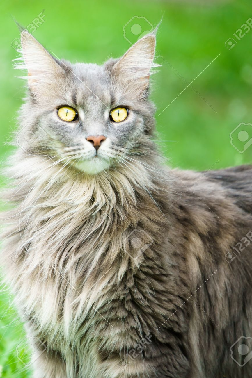 Watching Grey Tabby Cat With Bright Yellow Eyes And Green Grass