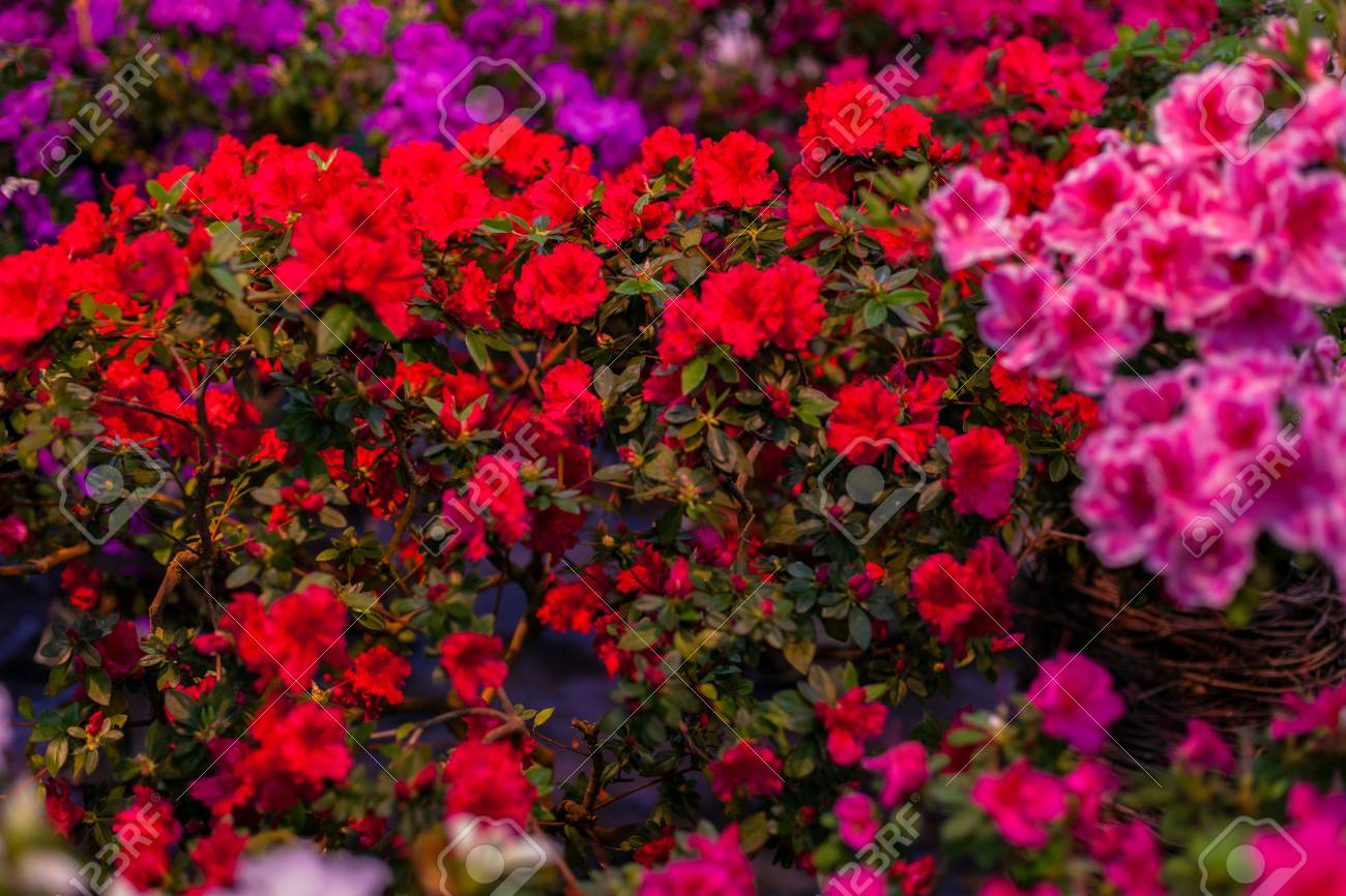 Inflorescences Of Azaleas Of Different Colors Close Up. Stock Photo ...