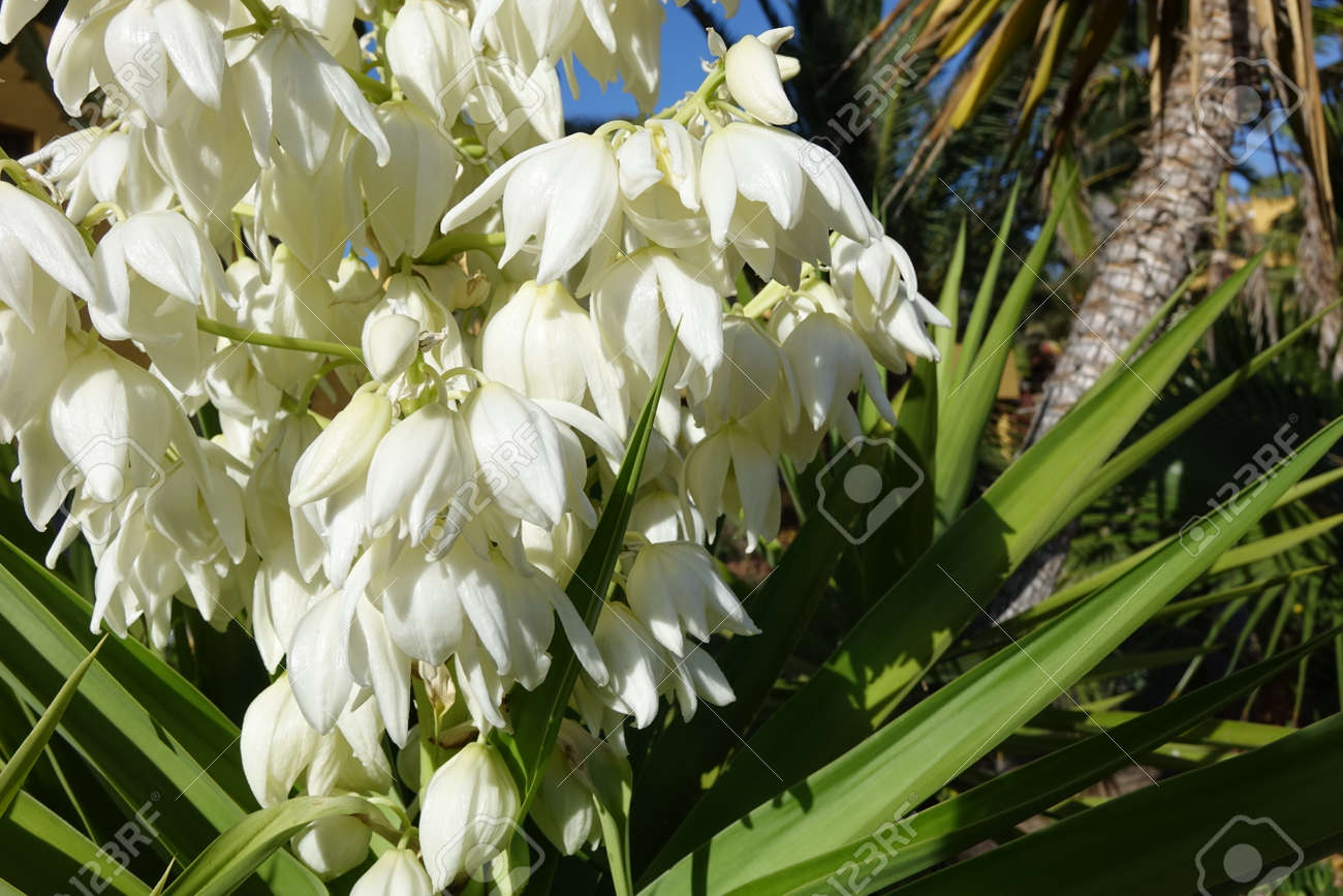 Yucca Aloifolia In Full Bloom With Beautiful White Flowers Taken Stock Photo Picture And Royalty Free Image Image 125052282