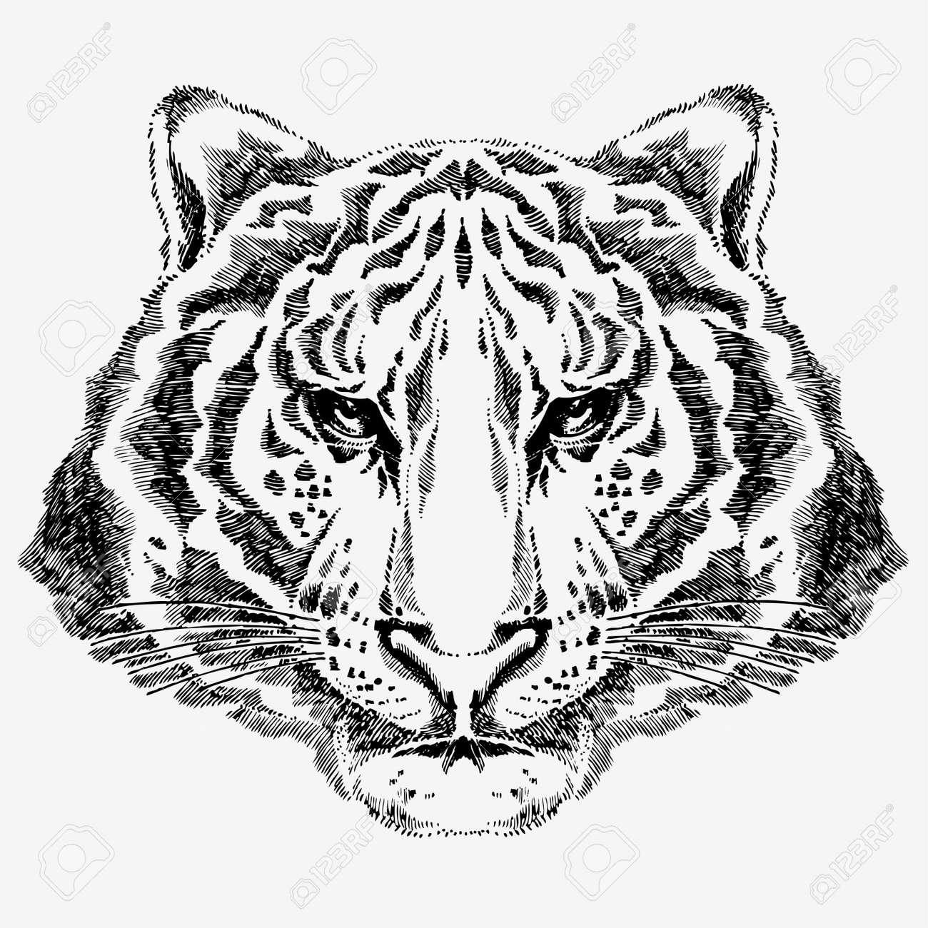 tiger drawing Stock Vector - 7860225