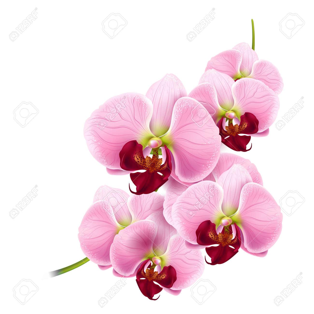 Foto de archivo , hermosa rama de orquídeas flores aisladas sobre fondo blanco