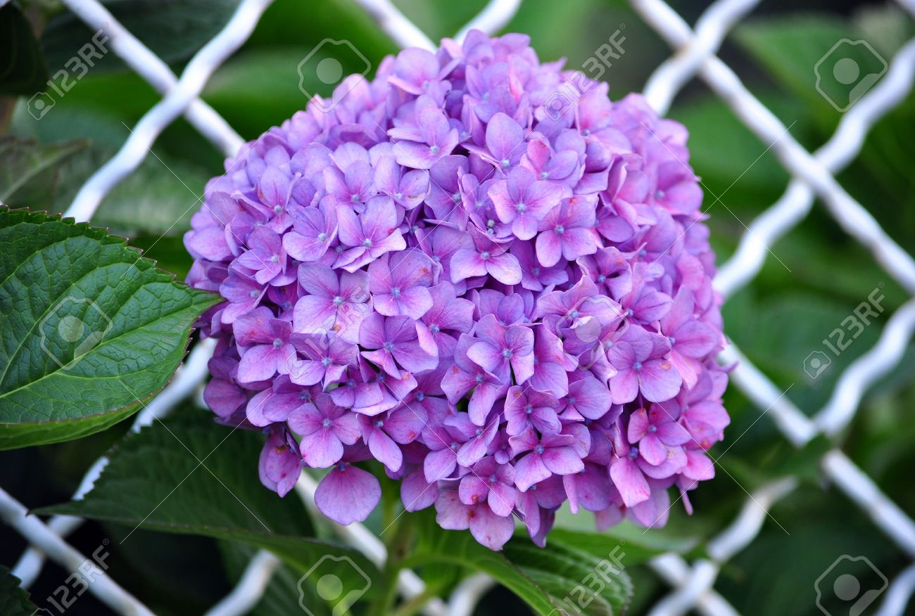 Color Hortensia Color Hortensia With Color Hortensia Free Las - Color-hortensia