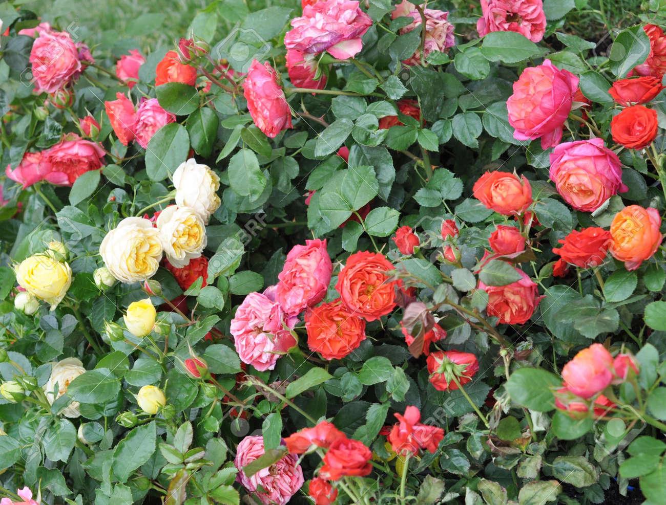 Rose perennial flower shrub vine of genus rosa rosaceae stock photo rose perennial flower shrub vine of genus rosa rosaceae stock photo 9724196 mightylinksfo