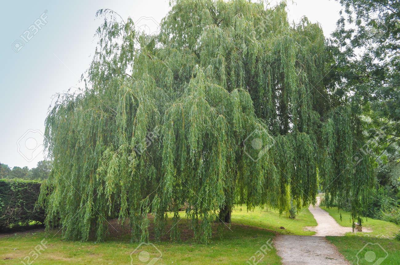 Luxus Weidenbaum Kaufen