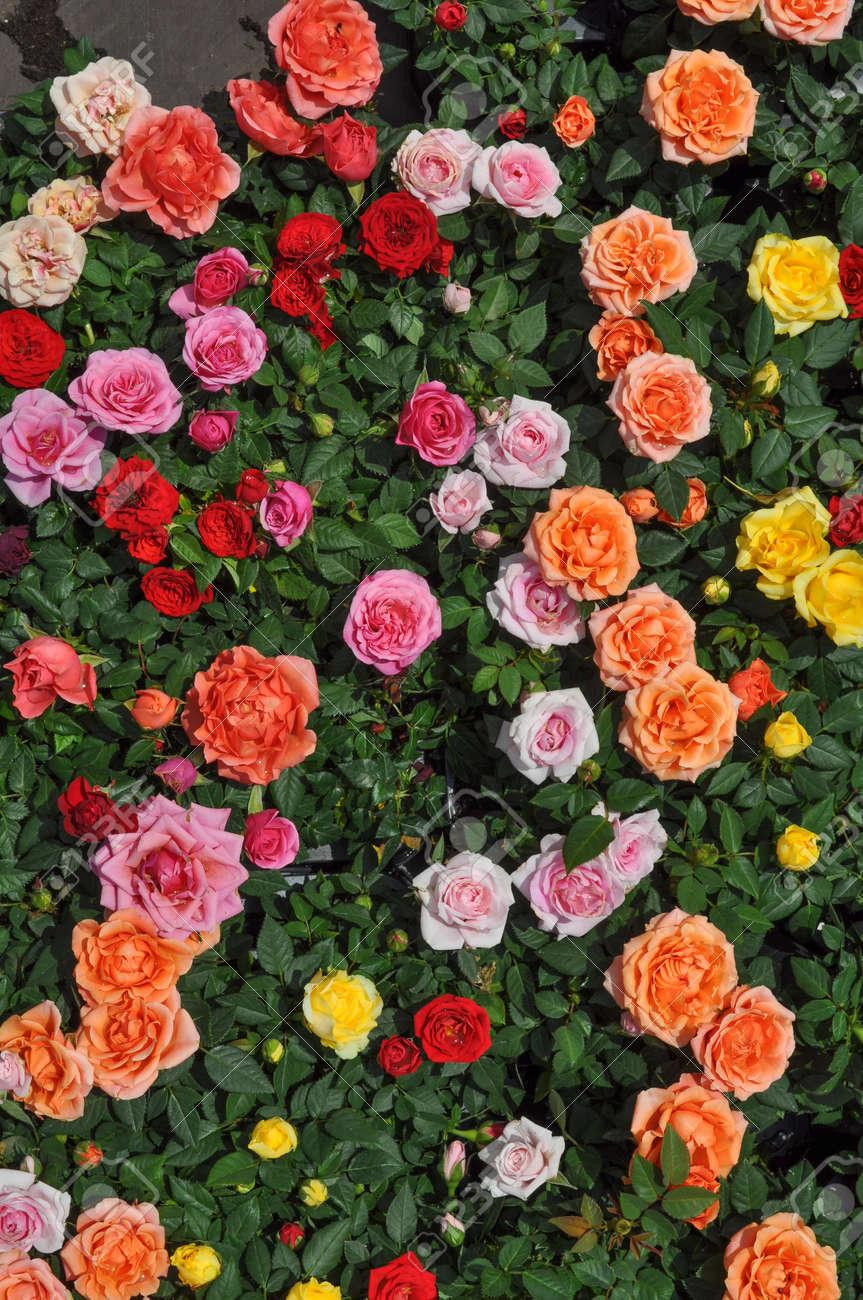 red roses jaunes et oranges fleurs roses d'arbustes vivaces banque