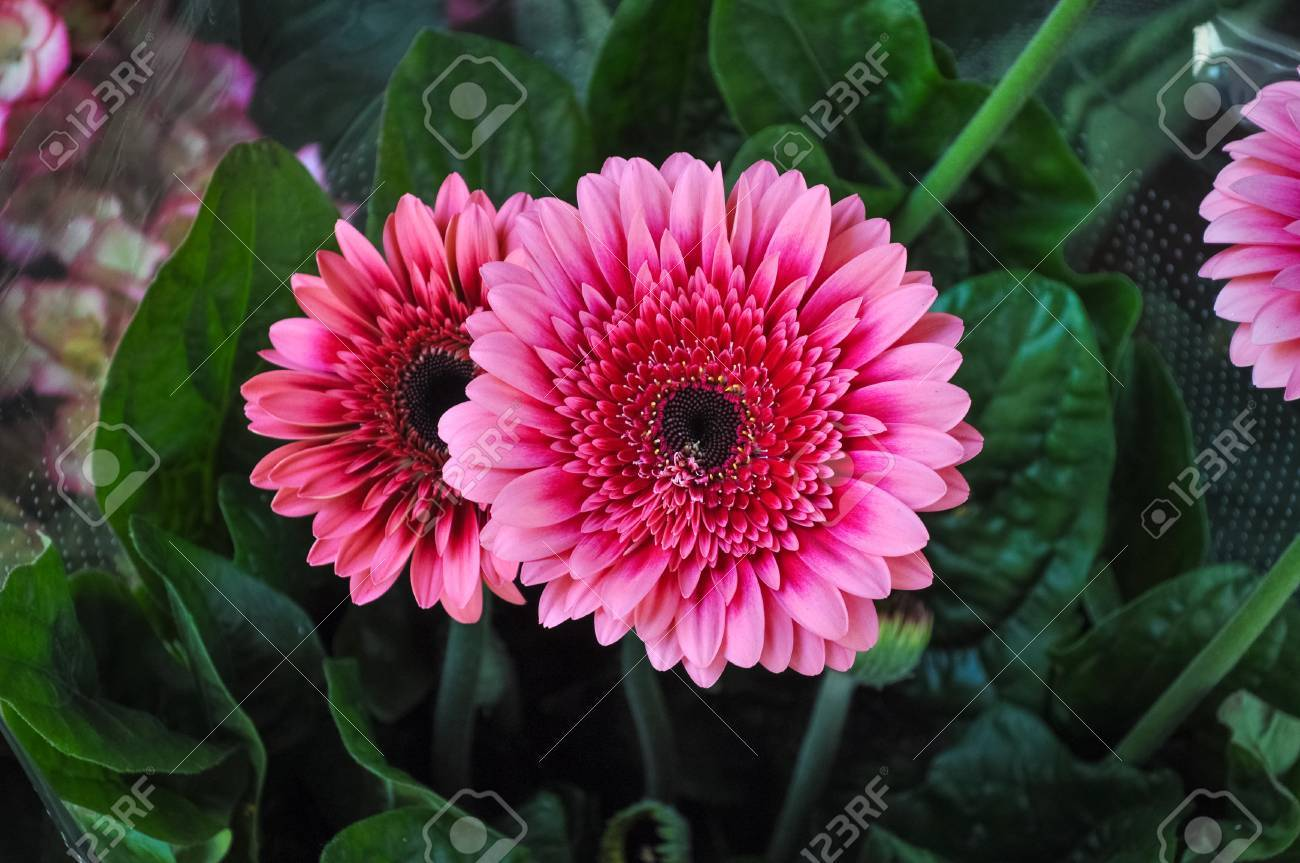 Pink Gerbera Gerbera Hybrida Daisy Flower Detail Stock Photo