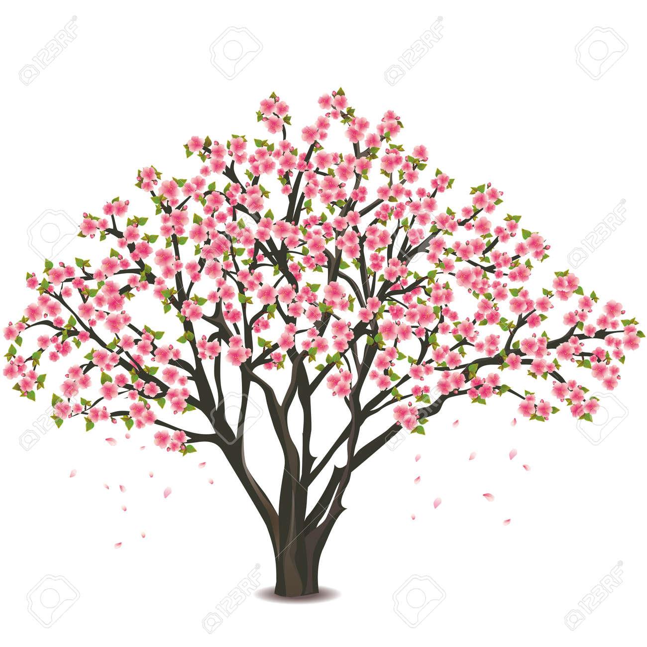 Arbol De Cerezo Japones sakura florecen - árbol de cerezo japonés, aislado en fondo blanco