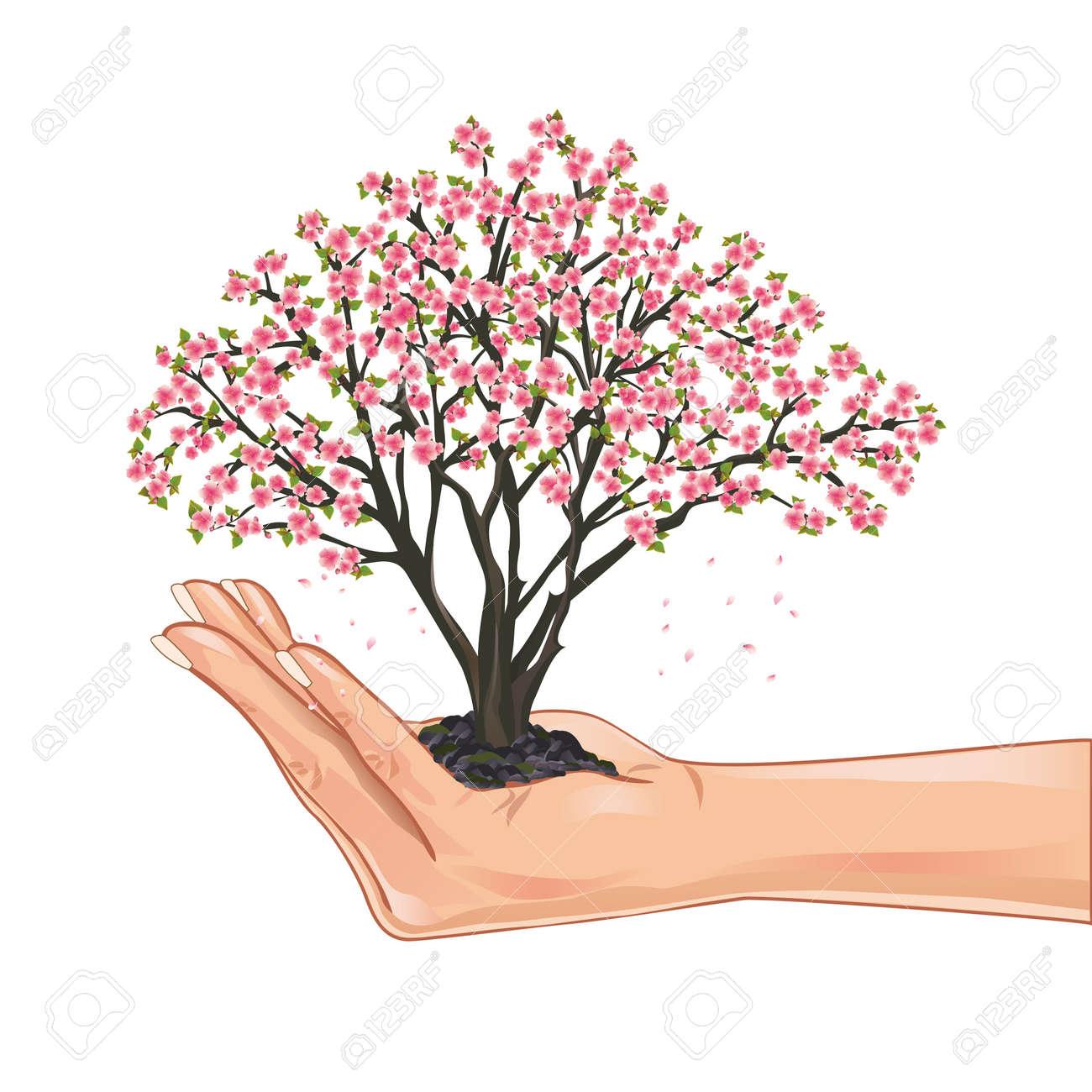Hand holding a sakura blossom, japanese cherry tree, isolated on white background - 12482375