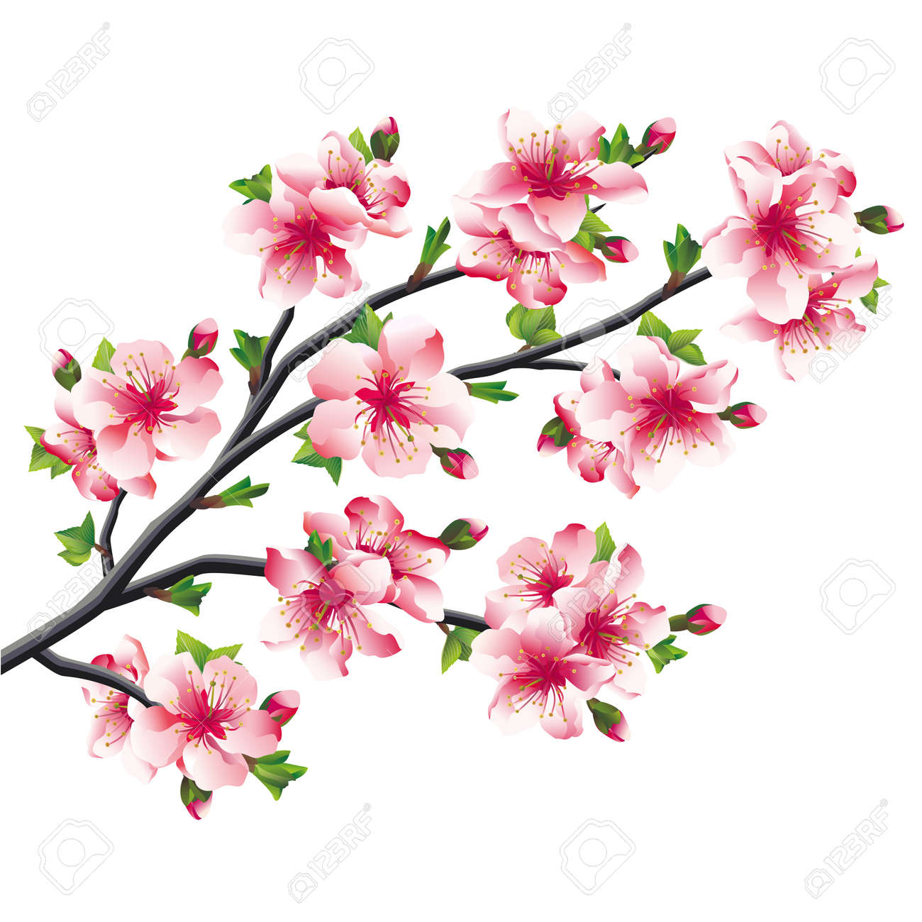 Pink Cherry Blossoms Branch Japanese Tree Sakura Isolated On