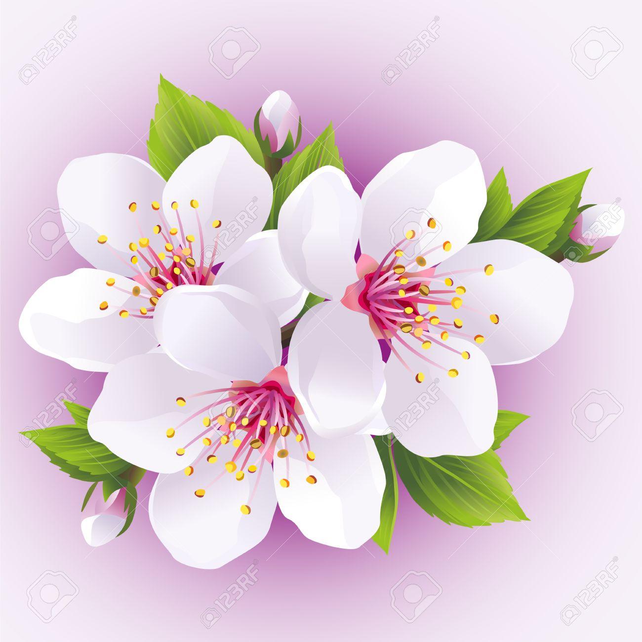 Floraison Sakura Succursale Cerisier Japonais Belle Fleur De