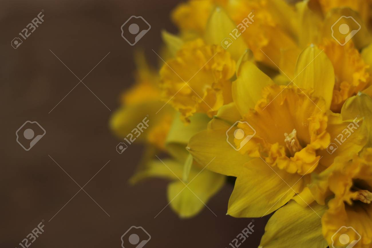 Spring Flowers Large Cupped Daffodil Or Narcissus Stock Photo