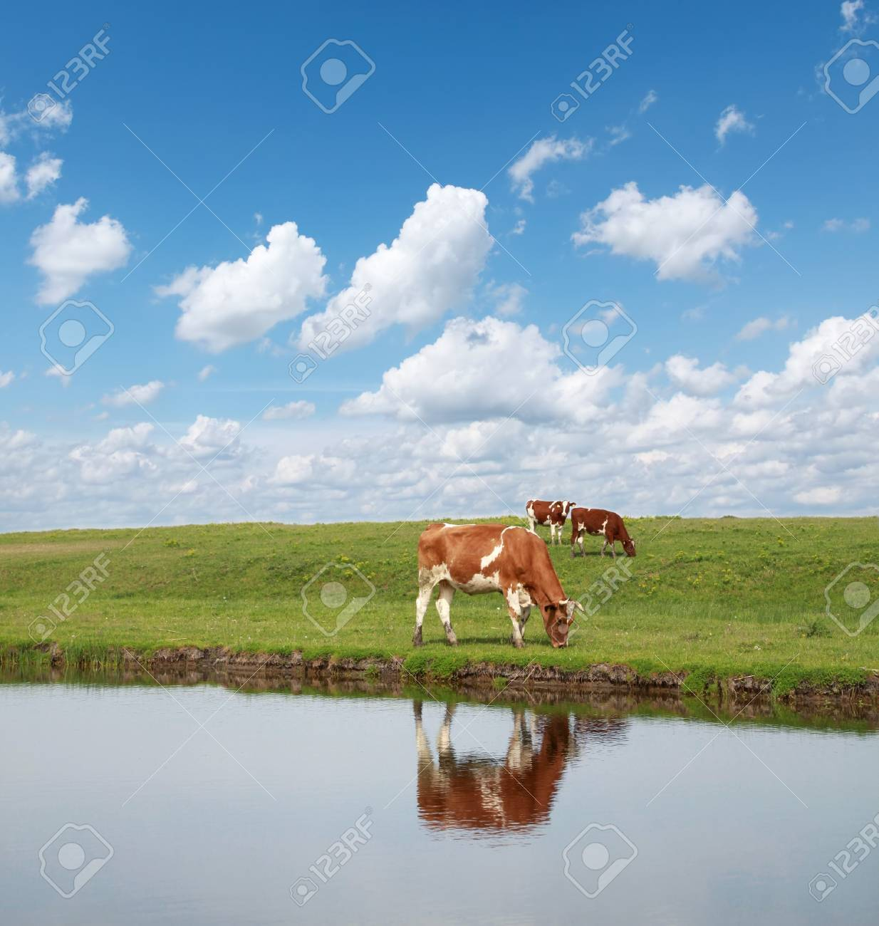 Cows in green field with blue sky and white clouds Stock Photo - 7144915