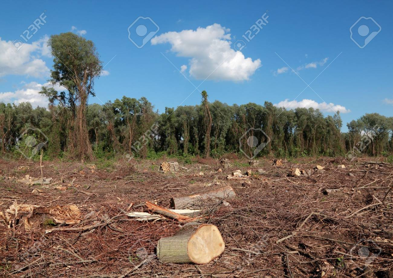 Freshly sawed big trees in a  forest Stock Photo - 8808165
