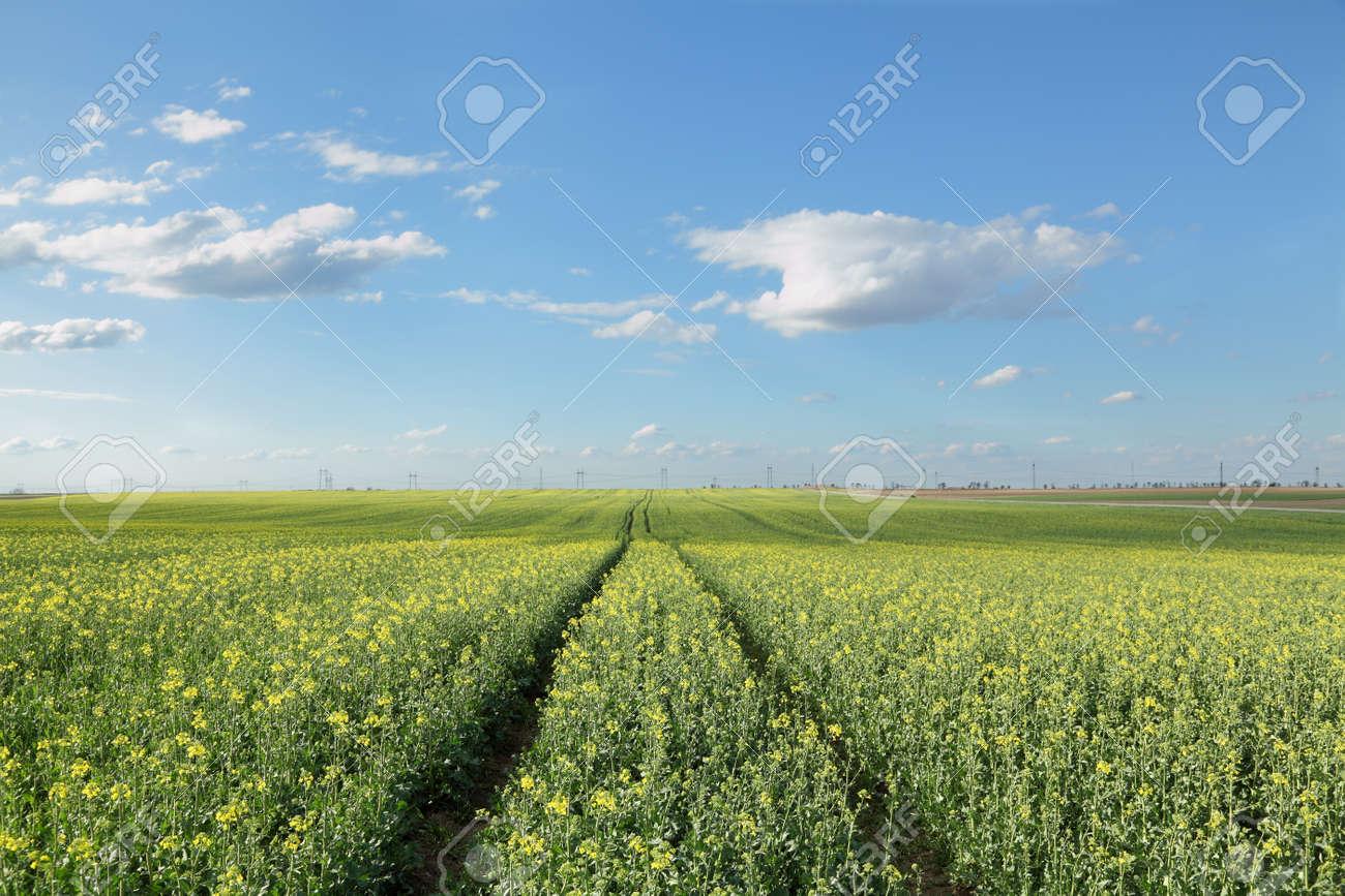 Oil rape in field in early spring Stock Photo - 13358615