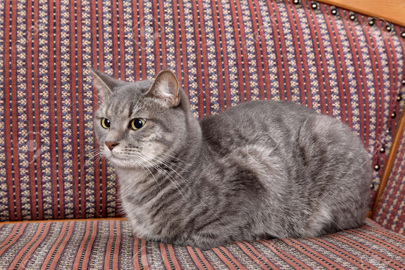 Mix breed domestic gray cat at sofa Stock Photo - 16568459
