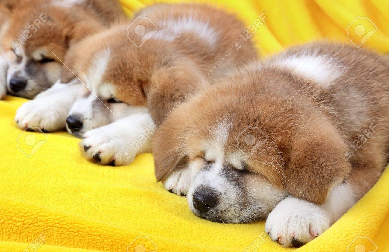 秋田 犬 赤ちゃん