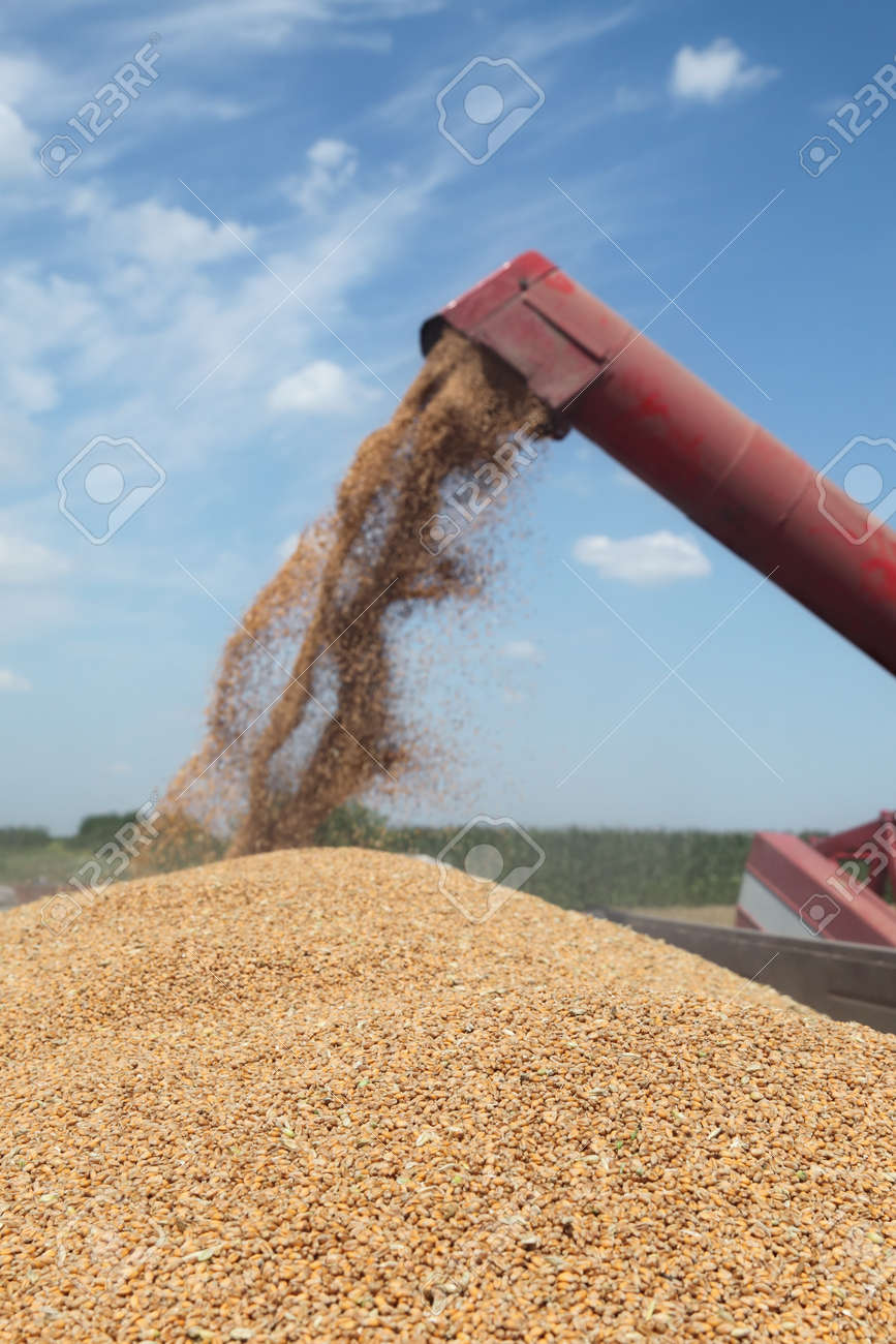 Wheat harvest, grain auger of combine pouring crop selective