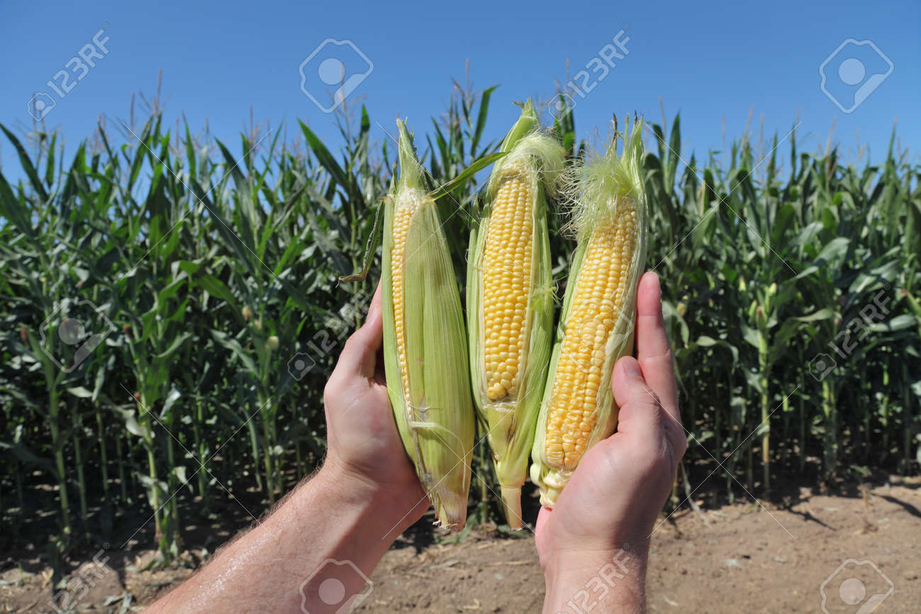 Closeup of farmers hands holding corn cobs in field Stock Photo - 21500013