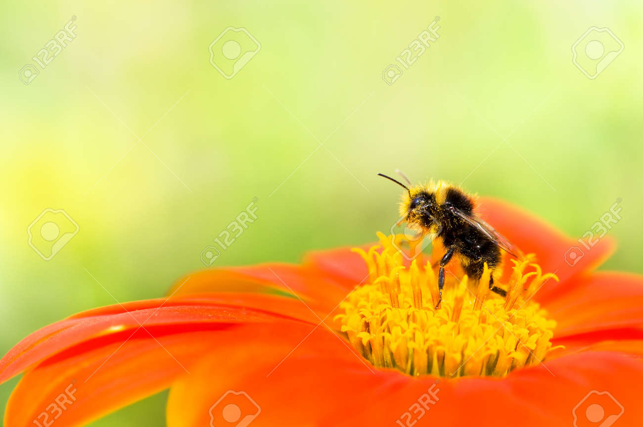 A Honey Bee Collecting Pollen On An Orange Flower With Yellow