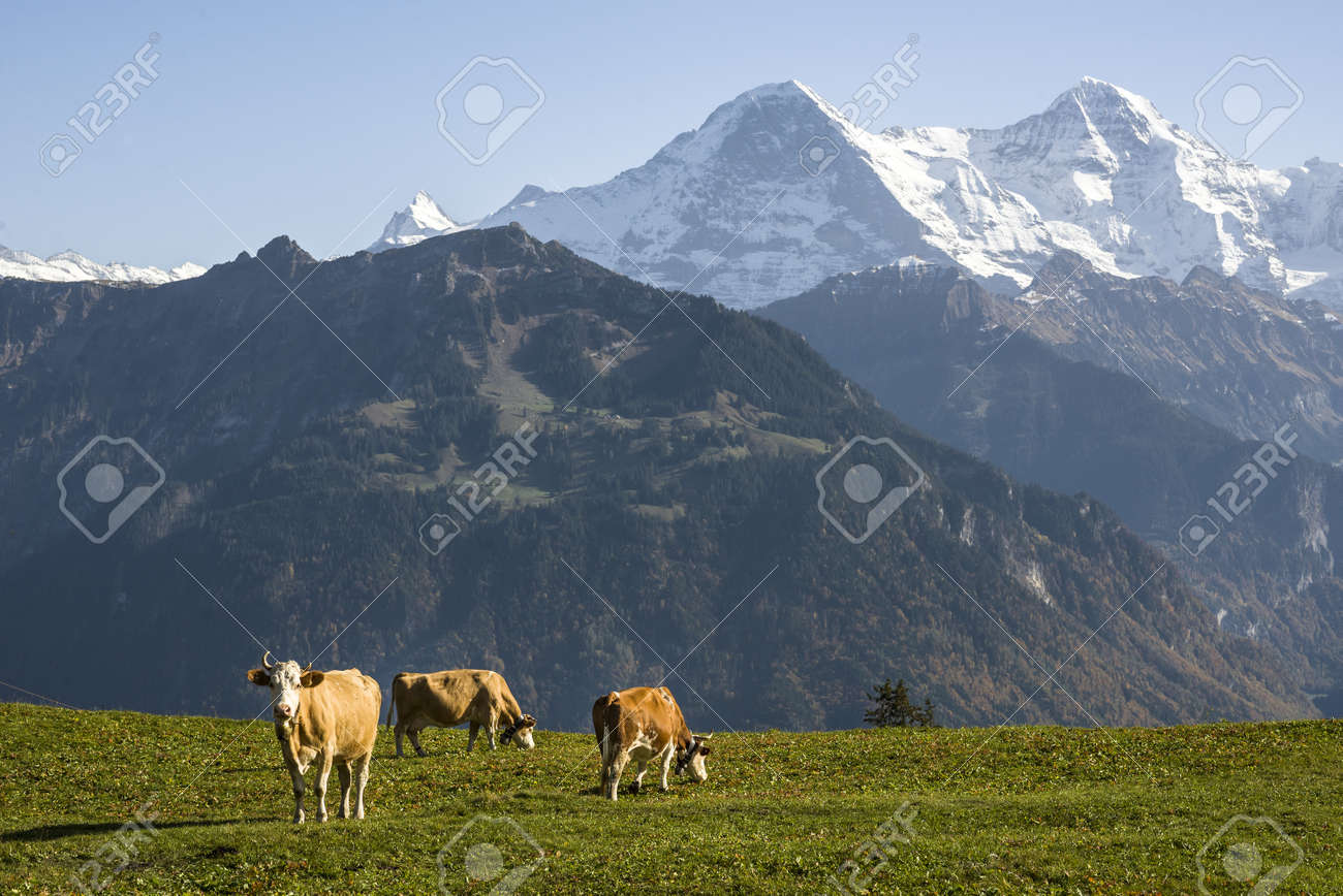 Cows grazing in front of the Swiss alps peaks Eiger and M�nch. Stock Photo - 18207794