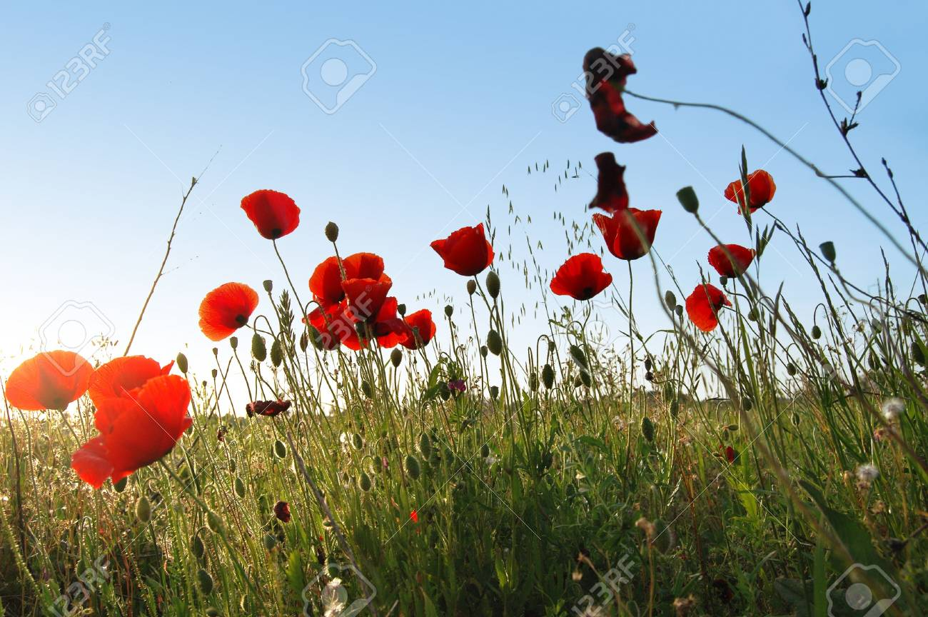 Red Poppies on a green field on a sunny day. Stock Photo - 6029963
