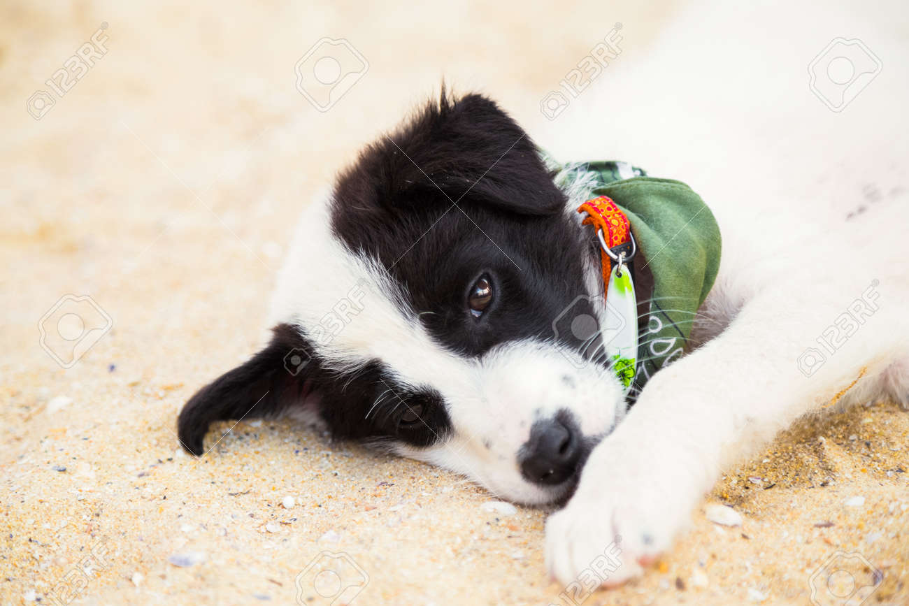 Cute Puppy With Surf Accessories Lying On The Beach Stock Photo Picture And Royalty Free Image Image 41676266