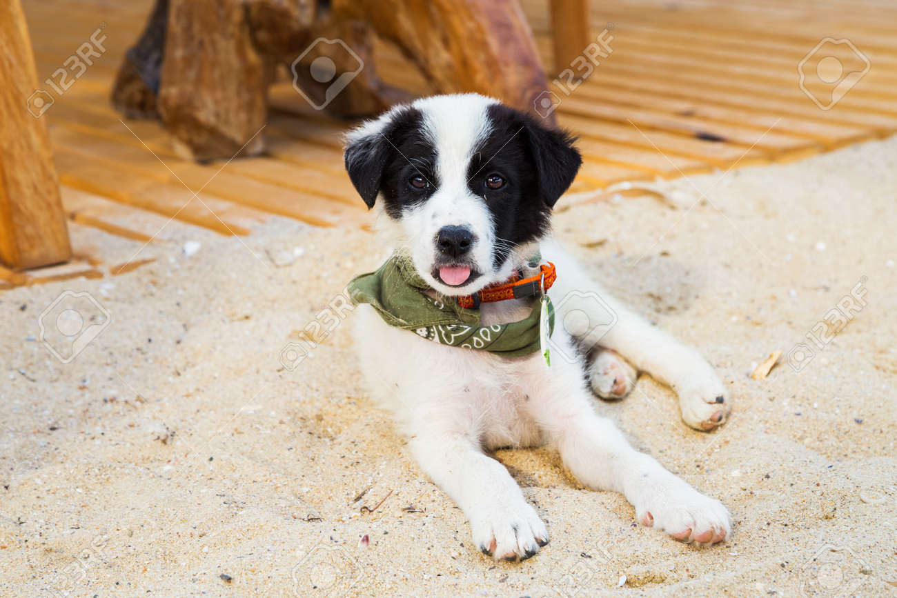 Cute Puppy With Surf Accessories Gaped On The Beach Stock Photo Picture And Royalty Free Image Image 47197665
